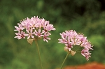 Meadow Garlic (Allium canadense)
