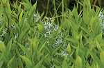 Eastern Blue Star (Amsonia tabernaemontana)