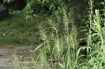 Bottlebrush Grass (Elymus hystrix)