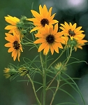 Willowleaf Sunflower (Helianthus salicifolius)
