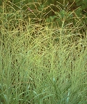 Switch Grass 'Blackwell' (Panicum virgatum)