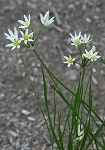 False Garlic (Nothoscordum bivalve)