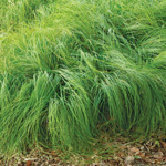 Pennsylvania Sedge (Carex pensylvanica)