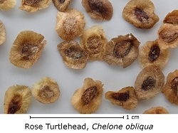 Rose Turtlehead (Chelone obliqua)