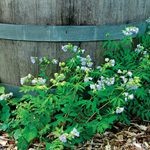 Jacob's Ladder (Polemonium reptans)