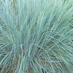 Little Bluestem (Schizachyrium scoparium)