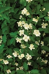 Mock Orange (Philadelphus pubescens)