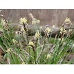 Oak Sedge (Carex albicans)