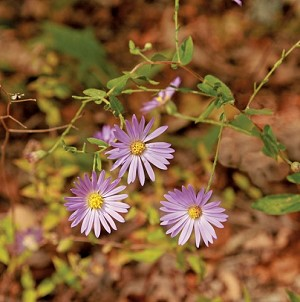 Purple Daisy (Aster patens) = Late Purple Aster (Symphyotrichum patens)