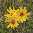 Western Sunflower (Helianthus occidentalis)