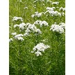 Slender Mountain Mint (Pycnanthemum tenuifolium)