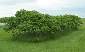 Smooth sumac (Rhus glabra)
