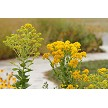Rigid Goldenrod (Solidago rigida) Preview